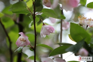 雨润海棠别样美