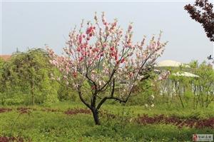 邹城古?#25151;?#30340;一棵异花同株的樱花树!!!