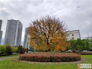 这是什么树,春天开始发黄落叶!