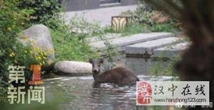 """野生毛冠鹿""""勇闯""""威尼斯人网上娱乐平台湿地公园 现在仍在逛大街"""
