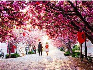 莱阳樱花节最新消息!4月19日濯村樱花文化旅游节即将开幕!万株樱花,粉染全城!