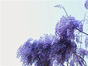 紫藤花�_,暗香浮��