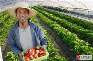 清水草莓大王张爱学邀请全国各地朋友们来采摘草莓体验田园生活
