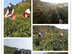 天恒彩票注册滴水公益志愿者助农采摘春茶创收