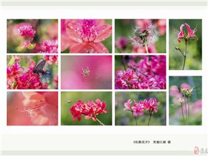 《杜鹃花开》