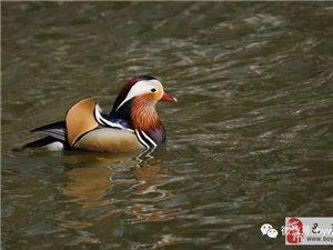 苏城巴彦摄影之鸳鸯戏水-李春生