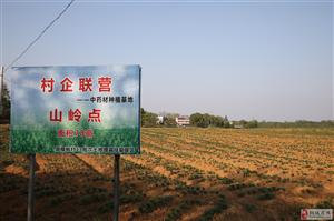 村企联营种百合 樟枫村