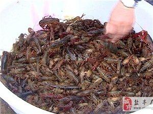 """盐亭高灯镇:本地龙虾""""爬""""上餐桌"""