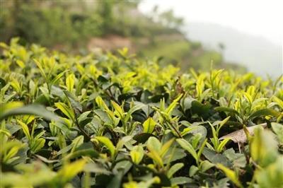 喝一杯新县的谷雨茶,和春天说再见!