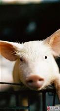 """70%?下半年猪肉价可能飙升这么多?猪又""""飞""""了?农业农村部回应了!"""