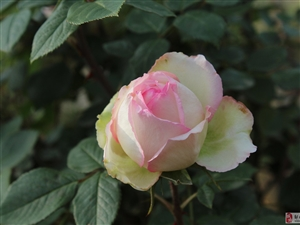 �u城:含苞欲放的�G月季牡丹花!