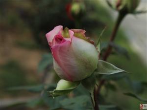 �u城:三�N月季牡丹花!