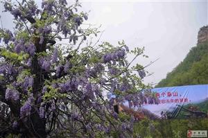 4月20日西泰山观杜鹃平安归来