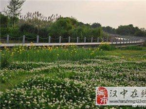 汉中汉江边黄色的鸢尾花,真好看