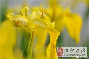 威尼斯人网上娱乐平台汉江边黄色的鸢尾花,真好看