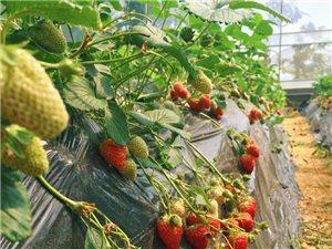 【汇总】邻水都有哪些地方可以摘樱桃、桑葚、草莓…