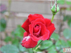 一支�t玫瑰