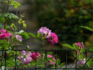 朵朵玫瑰朵朵�G