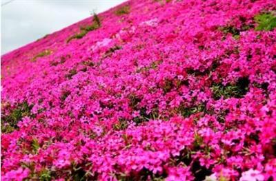 莱阳百亩芝樱花海盛放!简直惊呆了。这个网红打卡地,你值得拥有!