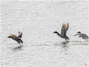 大东湖的绿头鸭
