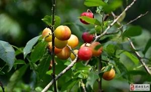 人��常吃的酸溜果子,竟藏在揭西�@��地方.....