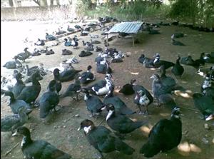 号外,号外,号外,龙川鹤市有番鸭出售啦!
