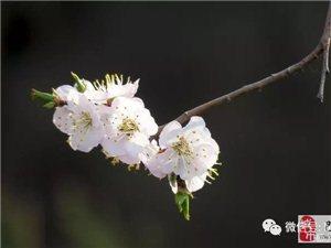 苏城巴彦摄影之春暖花开-安志伟
