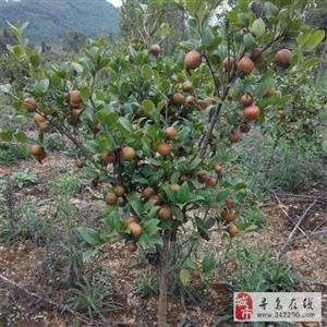 求合作:县城内种植有四万九��株油茶,合作价格198万元、出让45%股权
