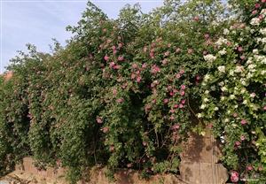蔷薇花开惹人爱
