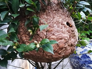 奇蜂  异果
