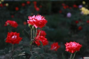 浪漫五月――实中校园月季花开