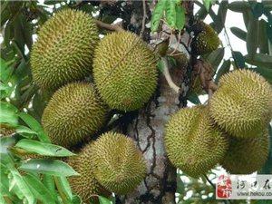 一颗榴莲树一年就能结几百个果实, 为何还卖那么贵,是太贪了吗