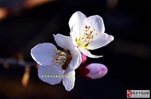 桃花依�f笑春�L(�z影作品 �B�d4)