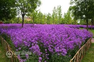 """紫色蓝香芥花海等你来""""打卡"""""""