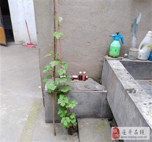 我家院子里的一棵葡萄苗