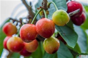 朴城峪大樱桃喜获丰收