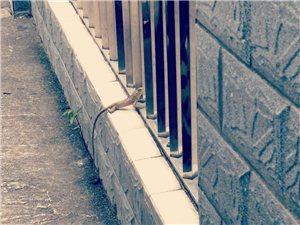 揭西河婆惊现野生蜥蜴