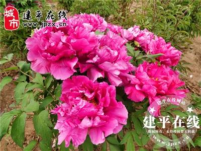 天秀山公园牡丹园第一茬已开完第二茬含苞待放尚需十至十五天