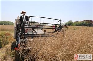 厉害了!油菜全程机械化种植示范片平均亩产172.4公斤
