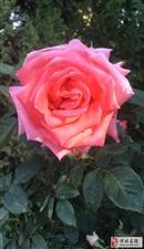 早上发现一朵美美的花,分享给大家,都有一个好心情啊~