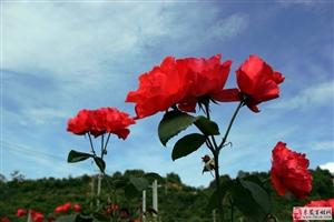 玫瑰花的艳丽使人久久值得回味