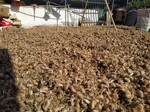 大量提供两年生优质藏红花种子