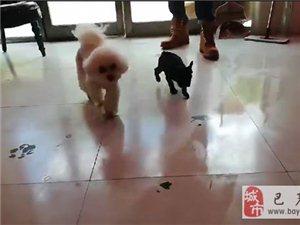 寻狗:在巴彦县中医院东100米道北艾和宠物门诊门口丢失比熊,必有重谢!
