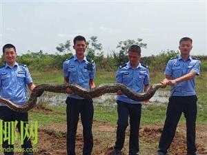 好吓人!儋州惊现约60斤大蟒蛇;偷吃村民多只鸭……
