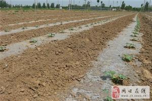 河南省迎来西瓜种植最佳季!