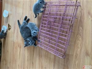 出售英短蓝猫幼崽