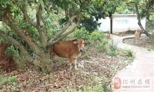 终于被抓了!化州在逃偷耕牛团伙在东莞车站落网!涉案价值10万余元!