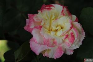 一朵月季牡丹花!!