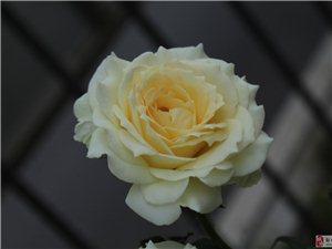 淡黄色的月季牡丹花!!