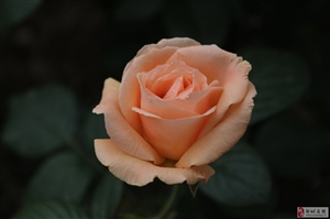 �\橙色月季牡丹花!!!